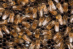 Honey bees and Hominids