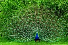 peacock's tail=vanity