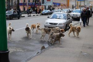 russian ferral dogs
