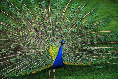 Sexually selected Peacock's tail