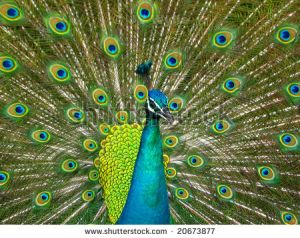 Peacock's sexual display