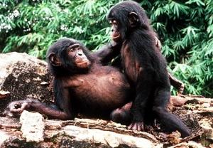 Sex in bonobs