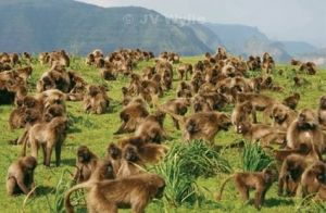 Baboons in a colony