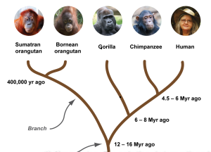 Evolutionary tree of humans and great apes