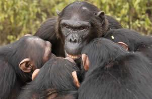 chimp jpg
